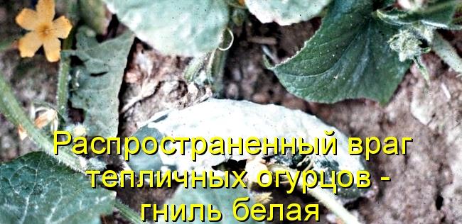 Распространенный враг тепличных огурцов - гниль белая