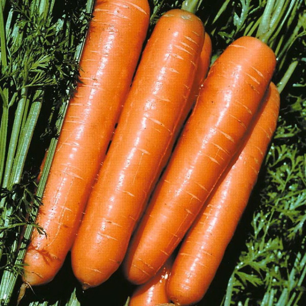 сорта моркови для длительного хранения