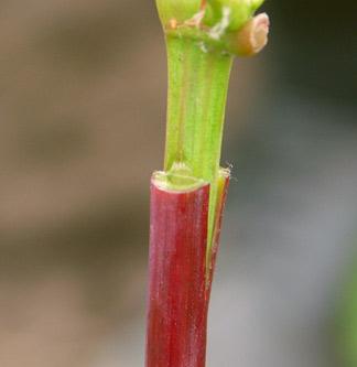 прививка винограда зеленое в зеленое