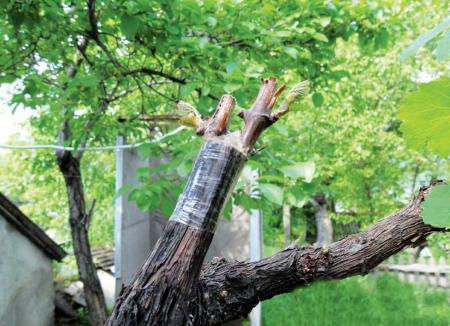 привитой или корнесобственный виноград