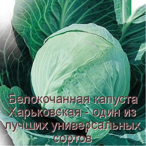 Белокочанная капуста харьковская - один из лучших универсальных сортов