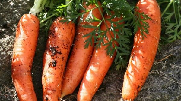морковь для хранения сорта