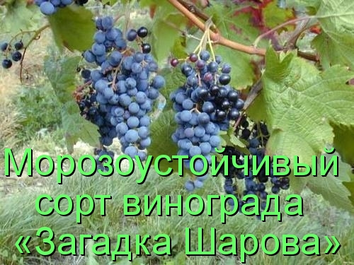 Морозоустойчивый сорт винограда «Загадка Шарова»