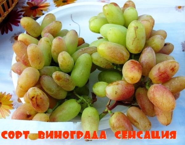 Сорт винограда Сенсация