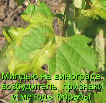 Милдью на винограде: возбудитель, признаки и методы борьбы