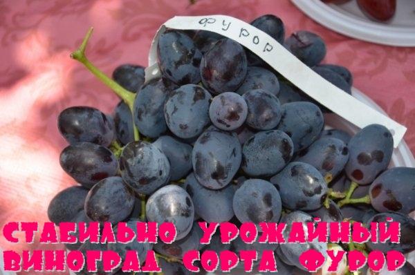 Стабильно урожайный виноград сорта Фурор