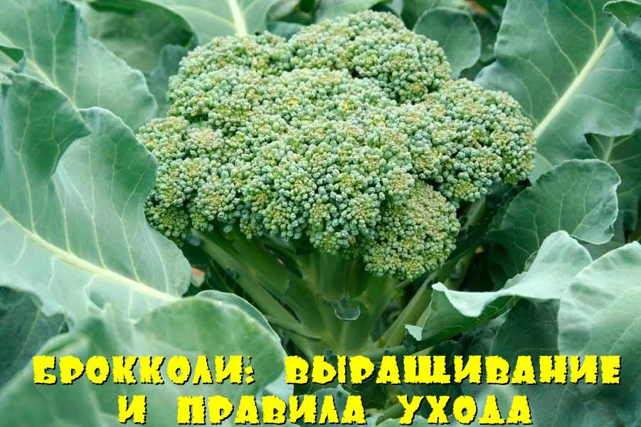 Брокколи: выращивание и правила ухода
