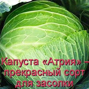 Капуста «Атрия» — прекрасный сорт для засолки
