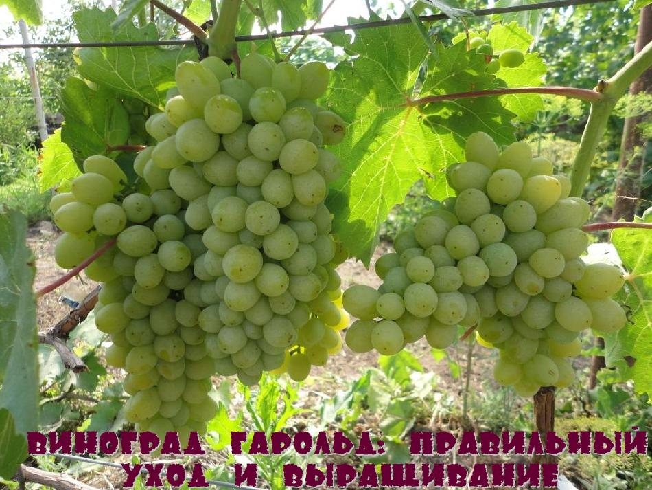 Виноград Гарольд: правильный уход и выращивание