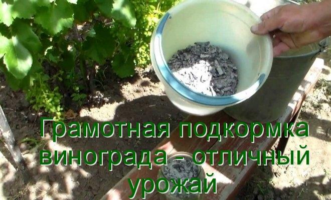 Грамотная подкормка винограда - отличный урожай