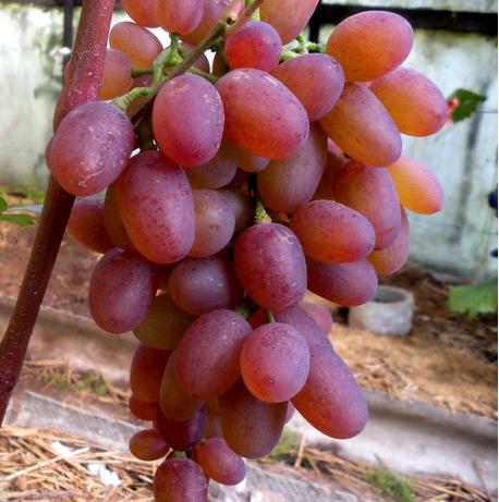 гроздь винограда рута