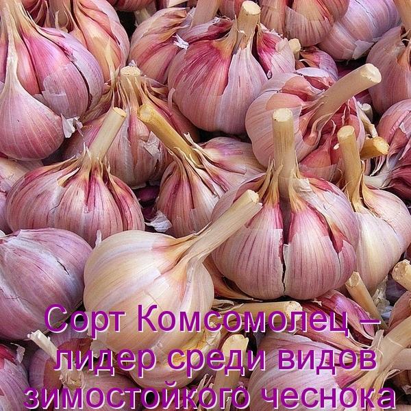 Сорт Комсомолец – лидер среди видов зимостойкого чеснока