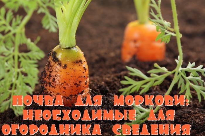 Почва для моркови: необходимые для огородника сведения