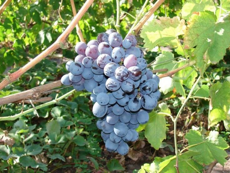 грозди винограда альфа