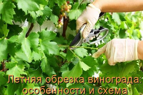 Летняя обрезка винограда: особенности и схема