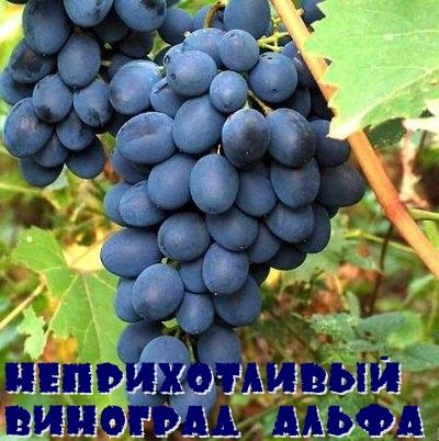 Неприхотливый виноград Альфа