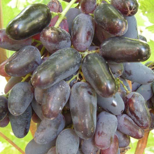 ягоды винограда памяти негруля