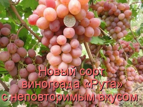 Новый сорт винограда «Рута» с неповторимым вкусом