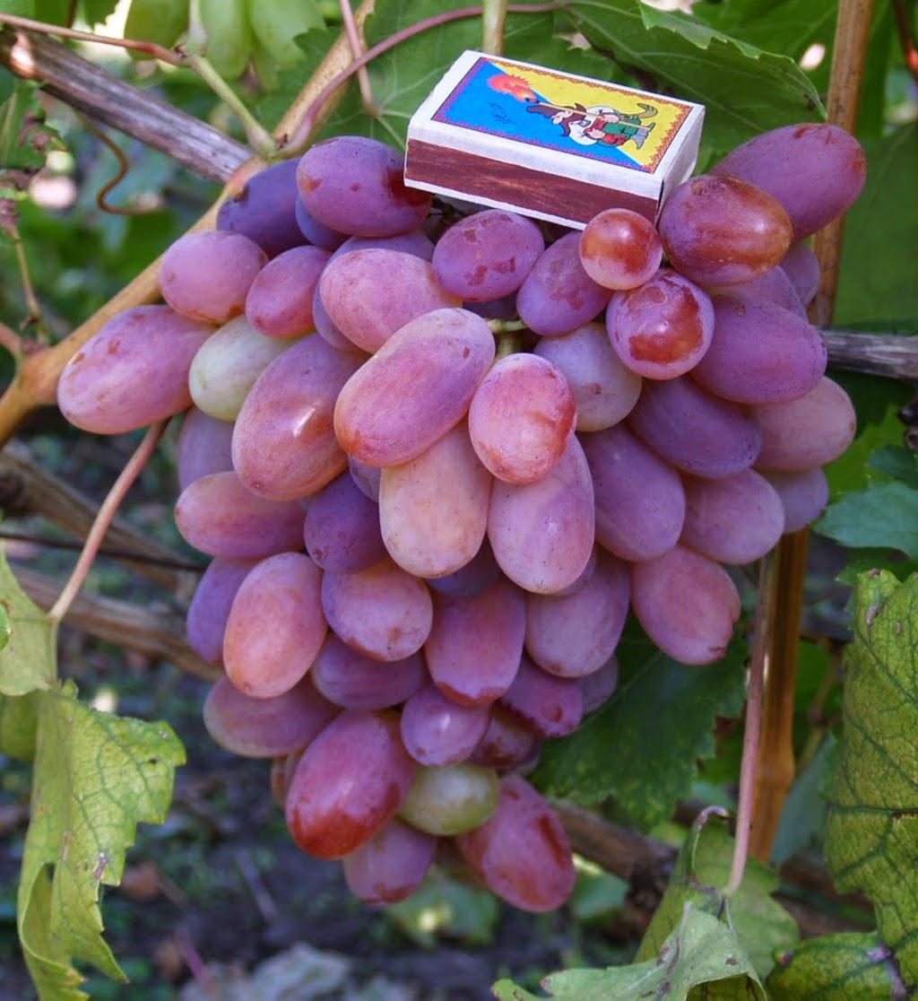 ягоды винограда сенсация