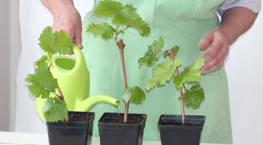 полив и подкормка винограда