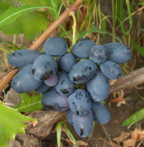 гроздь винограда велика