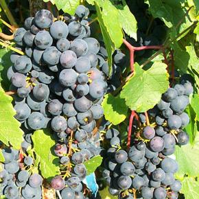 ягоды винограда альфа