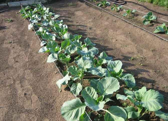 как вырастить брокколи на огороде