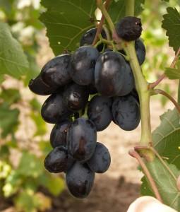 гроздь винограда фурор