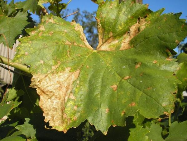 препараты от милдью на винограде