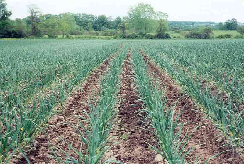 Технология выращивания озимого чеснока на кубани 87