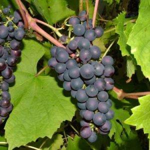 виноград альфа посадка и уход
