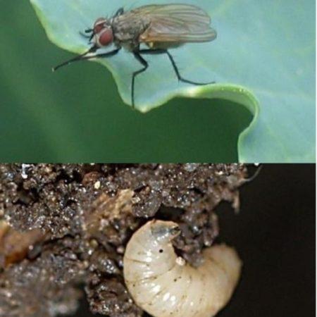 Личинка капустной мухи