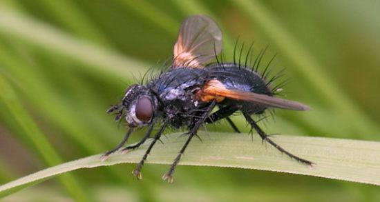 Капустная муха: описание, способы борьбы и профилактики появления