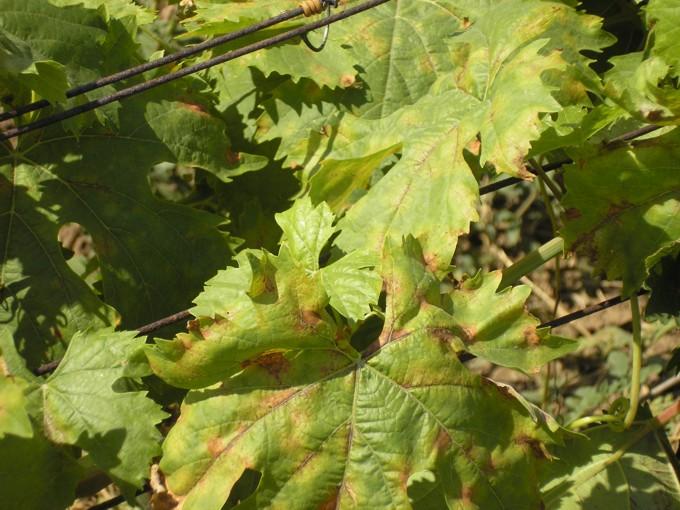 лечение милдью винограда