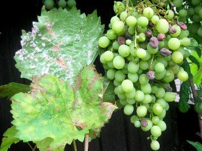 мучнистая роса на винограде как бороться