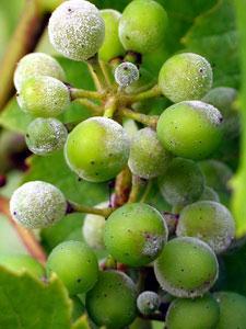 мучнистая роса на винограде лечение