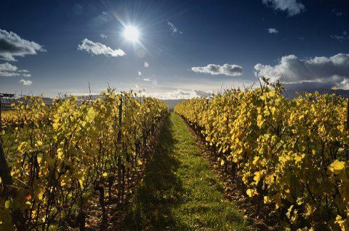 как поливать виноград осенью