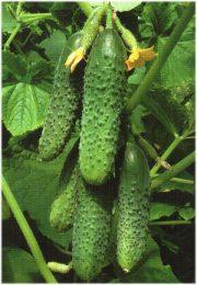 огурец кураж f1 урожайность