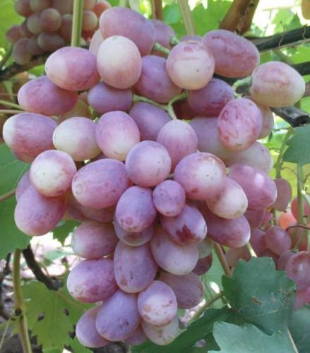 ягоды винограда рута