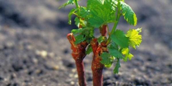 размножение винограда отводками осенью или весной