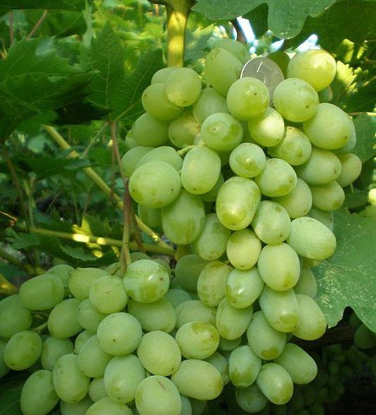 ягоды винограда гарольд