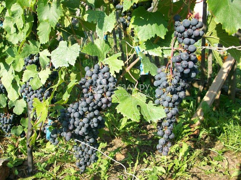 гроздь винограда загадка шарова