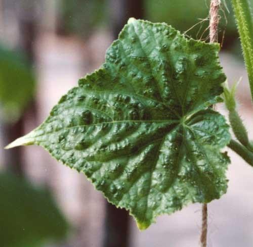зеленая мозаика огурца