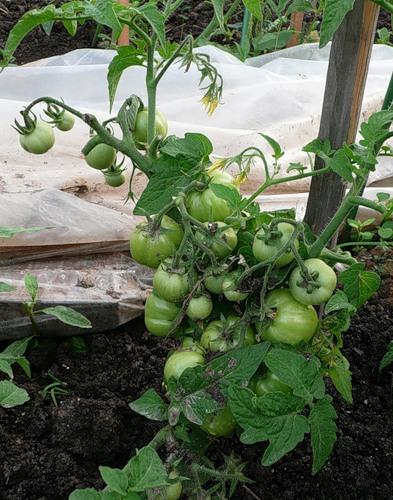 выращивание сорта ямал
