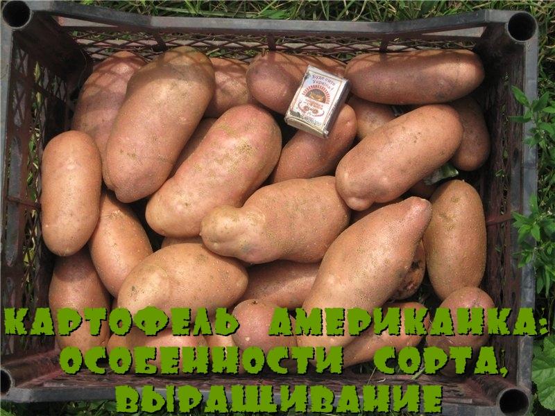 Картофель Американка: особенности сорта, выращивание