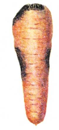 Альтернариоз моркови