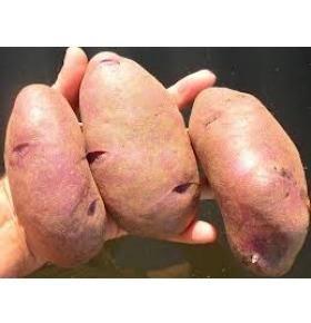 картофель сорта кубанка описание сорта