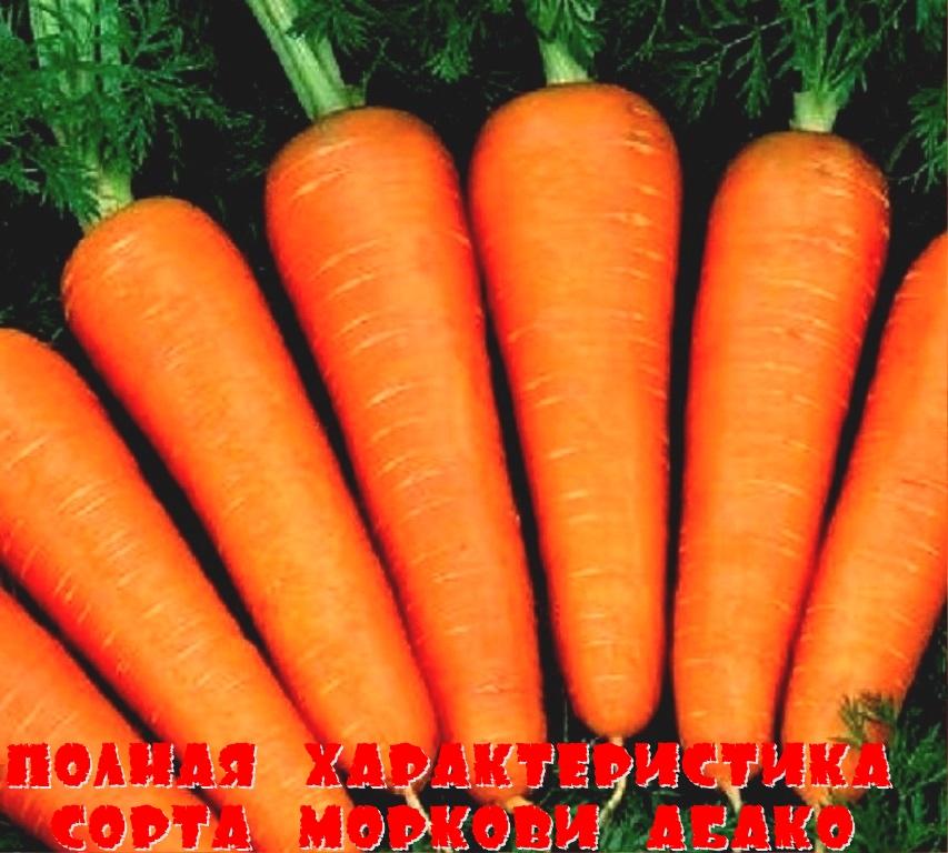 Полная характеристика сорта моркови Абако