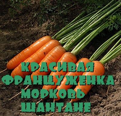 Красивая француженка морковь Шантане