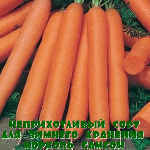 Неприхотливый сорт для зимнего хранения морковь Самсон